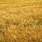 押し麦の栄養価とカロリーは?ダイエットになる?