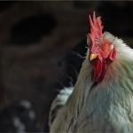 鶏ささみのカロリーは?鶏のささみはダイエットやトレーニングに良いの?